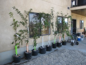 A Row of Fruit Trees Waiting to be Planted