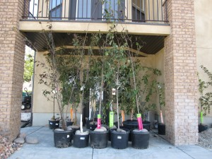 Fruit trees, Maples, Crabapple trees, all waiting to be planted!