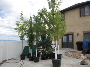 Large Trees Waiting to be Planted