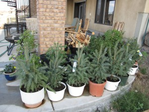 Blue Spruce that will live in Utah